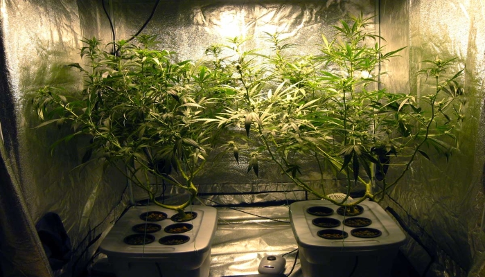 метод выращивания конопли, методы выращивания марихуаны, дефолиация, метод швази, выращивание марихуаны, тренировки конопли,