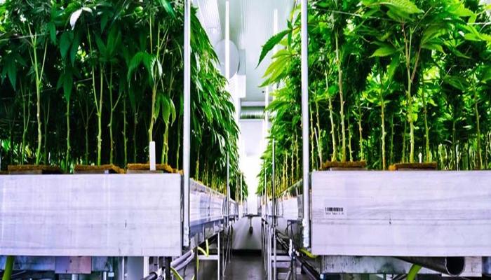 метод выращивания конопли, методы выращивания марихуаны, гидропонический методы выращивания конопли, гидропоника, hydroponic system, выращивание марихуаны, тренировки конопли,
