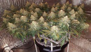метод выращивания конопли, методы выращивания марихуаны, скрог, scrog, выращивание марихуаны,