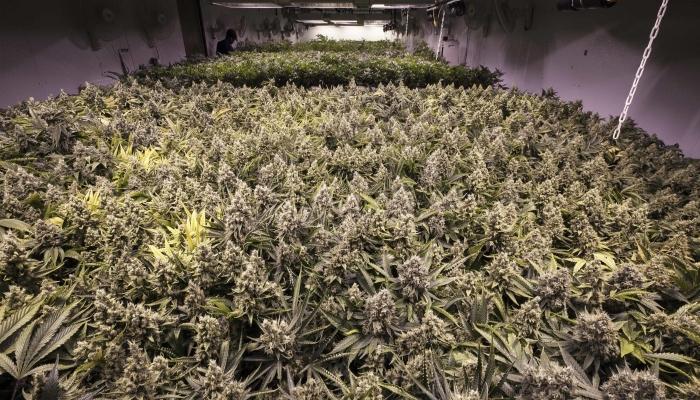 метод выращивания конопли, методы выращивания марихуаны, sog, сог, море зелени, выращивание марихуаны, тренировки конопли,