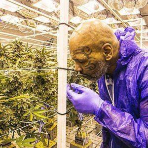 каннабис, марихуана, конопля, семена конопли, 420, weed, cannabis, marijuana, mike tyson, proffesional sport, sport, boxer, proffesional boxer, box, ranch, cbd, thc, mj, mary jane,