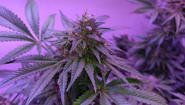 автоцветы, автоцветущие сорта марихуаны, автики, фотики, сортовая конопля, каннабис, mj, 420, marijuana, cannabis, seeds, выращивание марихуаны, выращивание конопли на улице, autoflowering cannabis seeds, фотопериодичные семена марихуаны,