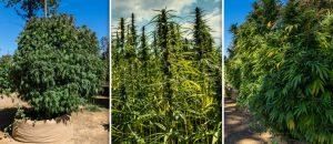 аутдор, выращивание конопли, выращивание марихуаны, выращивание каннабиса, выращивание на открытом грунте, огромные растения конопли, фотографии конопли, видео конопли, большой урожай марихуаны,