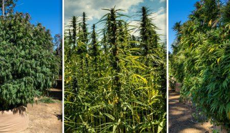 На сколько высокими растения каннабиса могут вырасти в открытом грунте?!