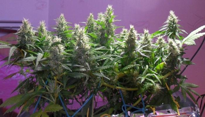 междоузлие, узлы и междоузлия, что такое междоузлие, что такое узел растения, строение растения, растение конопля, марихуана, ганжа, каннабис, узел растения, побег растения,