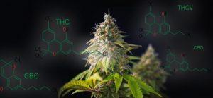cannabis change the world, конопля изменит мир, самое доброе растение, без улыбки не останешься, применение конопли, использование каннабиса, применение каннабиса, каннабис изменяет мир, изменения в мире, терпены, terpens, cannabinoids, hemp industry, конопляная промышленность, техническая конопля,