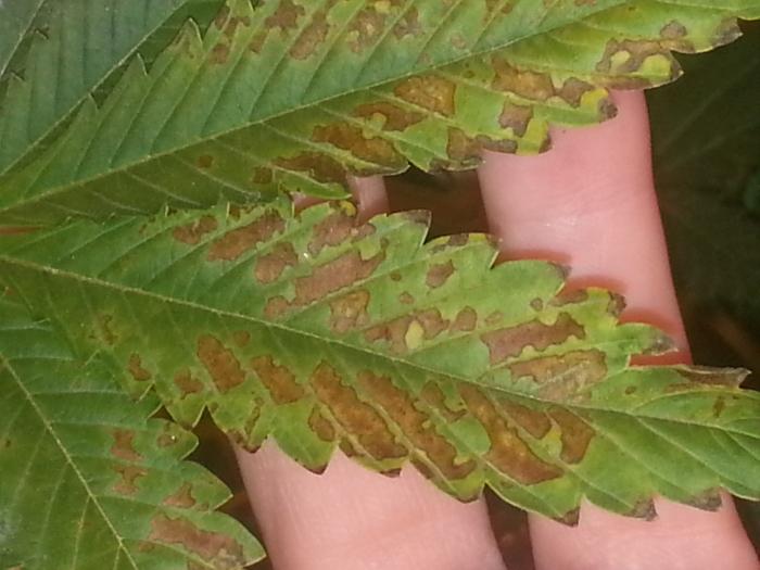 Марихуана пятна на листьях в доме пахнет марихуаной скачать