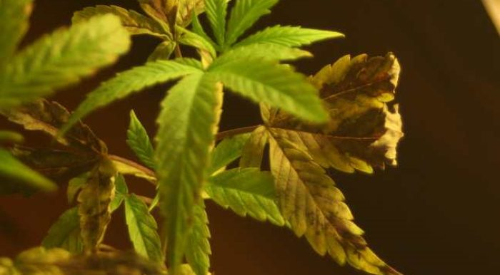 Какие бывают болезни и какие актуальны для марихуаны