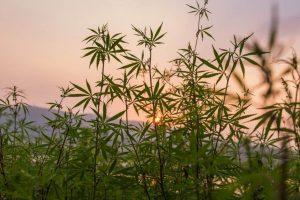 как правильно выращивать марихуану в открытом грунте