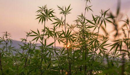 Как правильно вырастить марихуану на улице?
